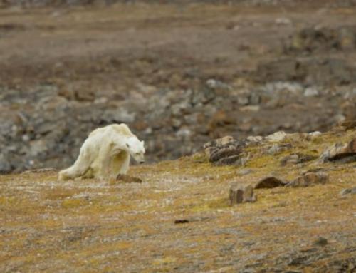 Orso polare denutrito e in fin di vita